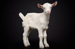 一只幼小白色山羊的画象 免版税库存图片