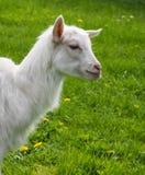 一只幼小白色山羊 库存照片