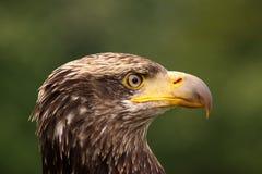 一只幼小白头鹰的纵向 免版税库存照片