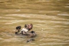 一只幼小短尾猿在海滩游泳对此在池水处于低潮中忘记了在Bako国立公园,婆罗洲 库存照片