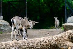 一只幼小石山羊出生在动物园里 库存图片