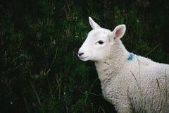 一只幼小绵羊羊羔在背景r中拍摄了与草 免版税图库摄影