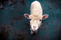 一只幼小绵羊调查照相机 免版税库存图片