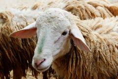 一只幼小羊羔在农村农场 库存图片