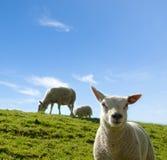 一只幼小羊羔的春天图象与母亲绵羊的 免版税库存图片