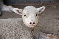 一只幼小羊羔 免版税库存图片