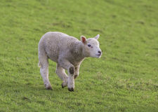 一只幼小羊羔 库存照片