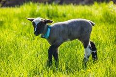 一只幼小羊羔 图库摄影