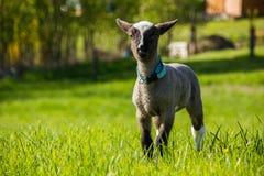 一只幼小羊羔 免版税图库摄影