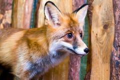 一只幼小美丽的棕色狐狸的特写镜头 库存图片