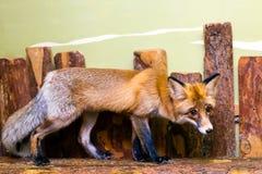 一只幼小美丽的棕色狐狸的特写镜头 库存照片