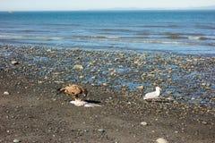 一只幼小老鹰和海鸥等待的食物作为浪潮减少 免版税库存图片