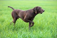 一只幼小肌肉棕色猎犬在领域的点站立在绿草中 一春天温暖的天 免版税库存图片
