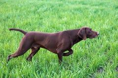 一只幼小肌肉棕色猎犬在领域的点站立在绿草中 一春天温暖的天 免版税图库摄影