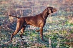 一只幼小肌肉棕色猎犬在领域的点站立在绿草中 短发德国的指针 免版税图库摄影