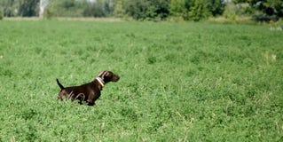 一只幼小肌肉棕色猎犬在领域的点站立在绿草中 免版税库存图片