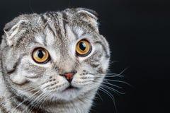 一只幼小苏格兰人折叠猫的画象 免版税库存照片