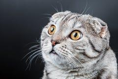 一只幼小苏格兰人折叠猫的画象 库存图片