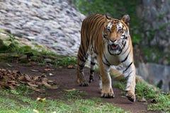 一只幼小苏门答腊老虎的图片 库存照片