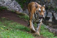 一只幼小苏门答腊老虎的图片 免版税库存照片