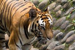 一只幼小苏门答腊老虎的图片 免版税库存图片