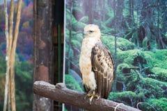 一只幼小菲律宾老鹰 免版税库存图片