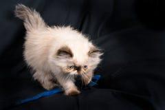 一只幼小蓝蚝喜马拉雅波斯小猫 免版税库存图片