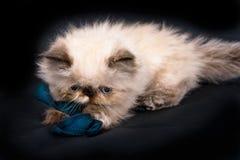 一只幼小蓝蚝喜马拉雅波斯小猫 库存图片