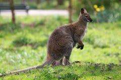 一只幼小袋鼠 免版税库存图片