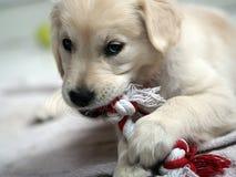 一只幼小金毛猎犬小狗的逗人喜爱的画象以他的嚼的玩具 免版税图库摄影