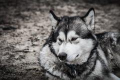 一只幼小阿拉斯加的爱斯基摩狗,狼的颜色的画象 免版税库存图片