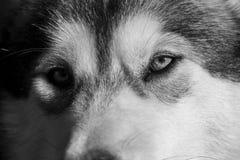 一只幼小阿拉斯加的爱斯基摩狗,狼的颜色的画象 免版税库存照片