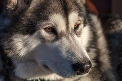 一只幼小阿拉斯加的爱斯基摩狗,狼的颜色的画象 图库摄影