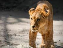 一只幼小雌狮的画象在自然的 免版税库存图片