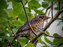 一只幼小雏鸟知更鸟 免版税库存图片