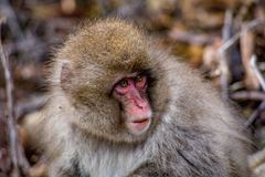 一只幼小雪猴子的画象 库存图片