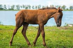 一只幼小驹由池塘吃草 库存图片