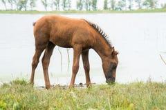 一只幼小驹由池塘吃草 免版税图库摄影
