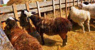 一只幼小,白色山羊在一个牛围场 免版税库存照片
