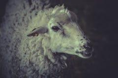 一只幼小绵羊,羊羔 免版税库存照片