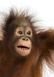 一只幼小Bornean猩猩的特写镜头,张的嘴 库存照片