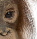 一只幼小Bornean猩猩的眼睛,类人猿pygmaeus的特写镜头 免版税库存照片