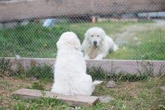 一只幼小maremma护羊狗小狗的画象由它的爪子挥动给爸爸通过篱芭在夏天 库存照片