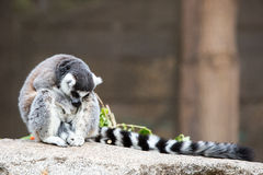 一只幽静环纹尾的狐猴 库存照片