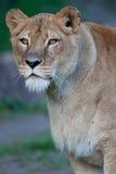 一只庄严雌狮的特写镜头纵向 免版税库存照片