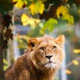 一只庄严雌狮的特写镜头纵向 图库摄影
