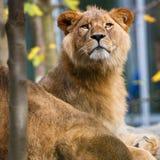 一只庄严雌狮的特写镜头纵向 免版税图库摄影