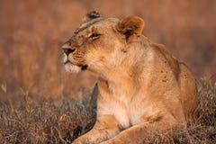 一只庄严雌狮的特写镜头画象本质上,非洲 库存图片