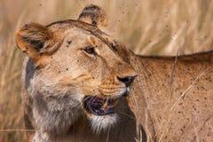 一只庄严雌狮的特写镜头画象本质上,非洲 库存照片