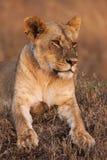 一只庄严雌狮的特写镜头画象本质上,非洲 免版税库存图片